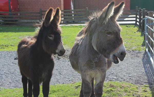 Das Foto zeigt die Esel des Hof Klöckers in Castrop-Rauxel