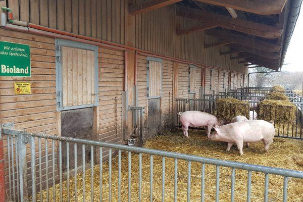 Das Foto zeigt die Schweine des Schultenhofs in Dortmund