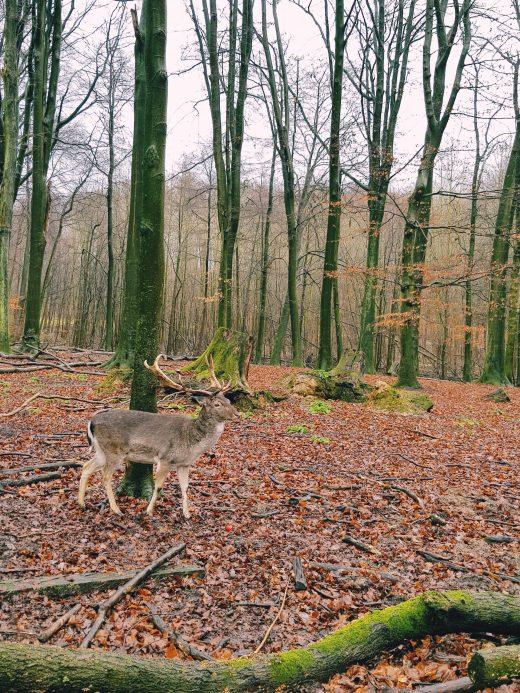 Das Foto zeigt Damwild im Süggelwald in Dortmund