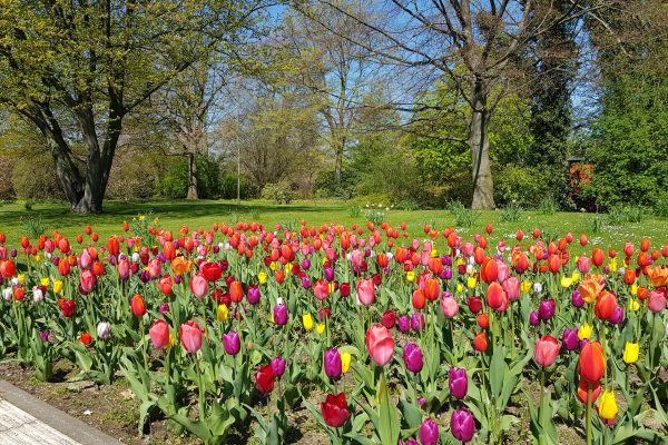 Das Foto zeigt Tulpen im Grugapark in Essen