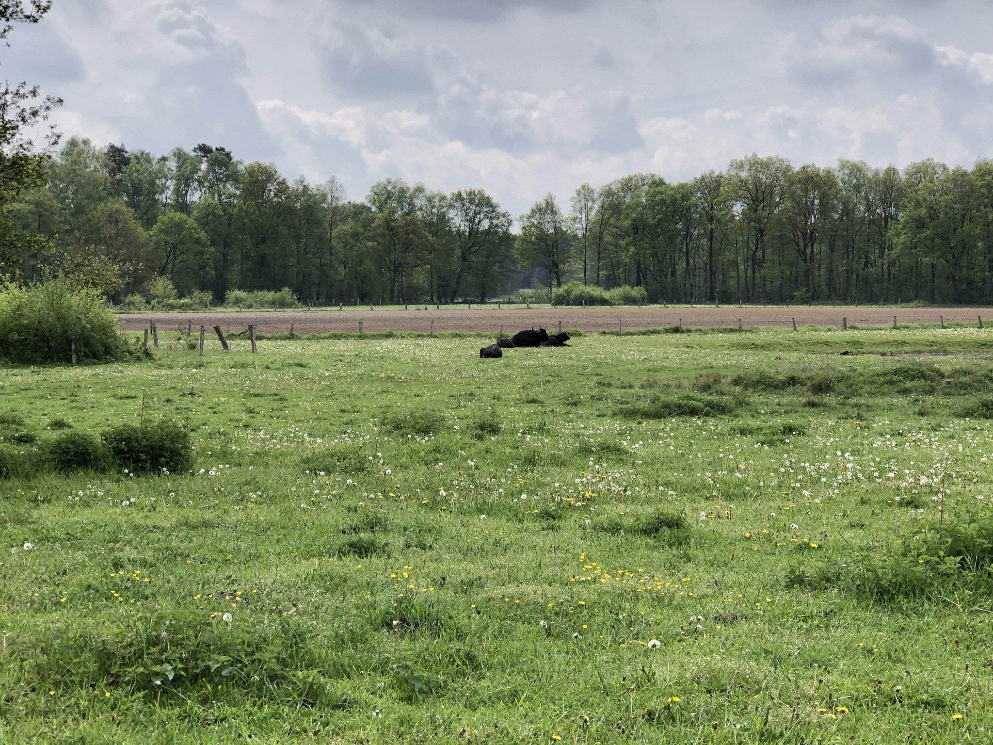 Blick auf die Wasserbüffel der Dingdener Heide