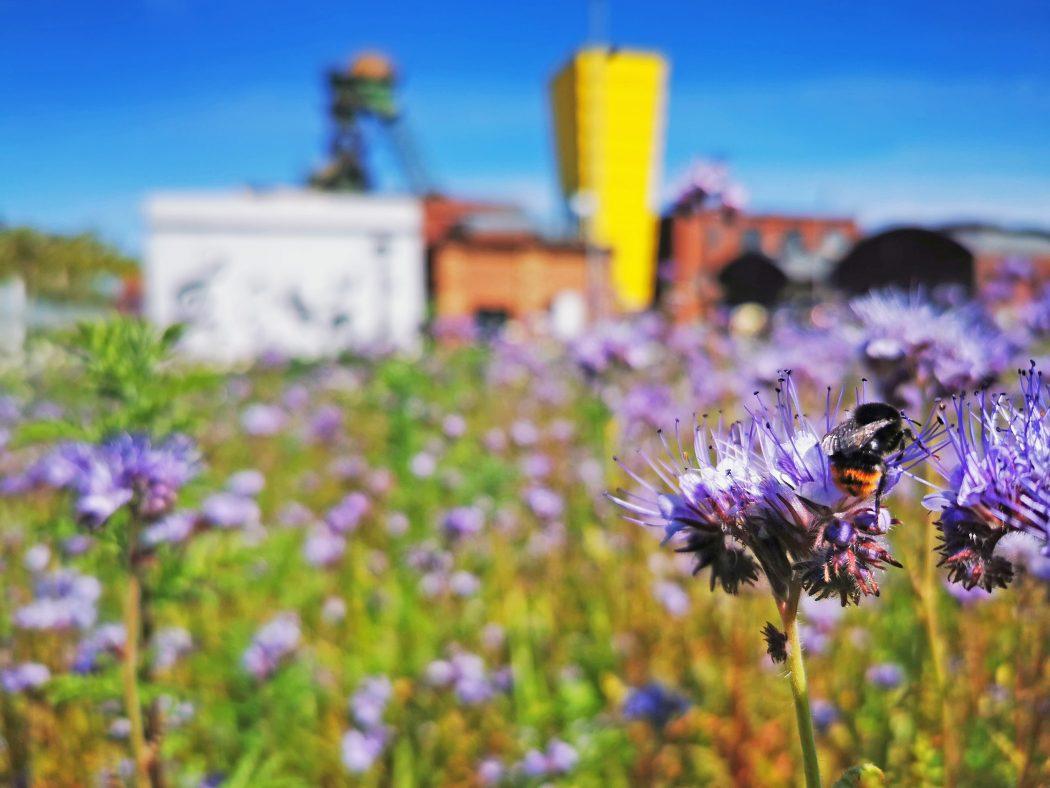 Das Foto zeigt eine Blumenwiese auf dem Gelände der Zeche Westfalen in Ahlen