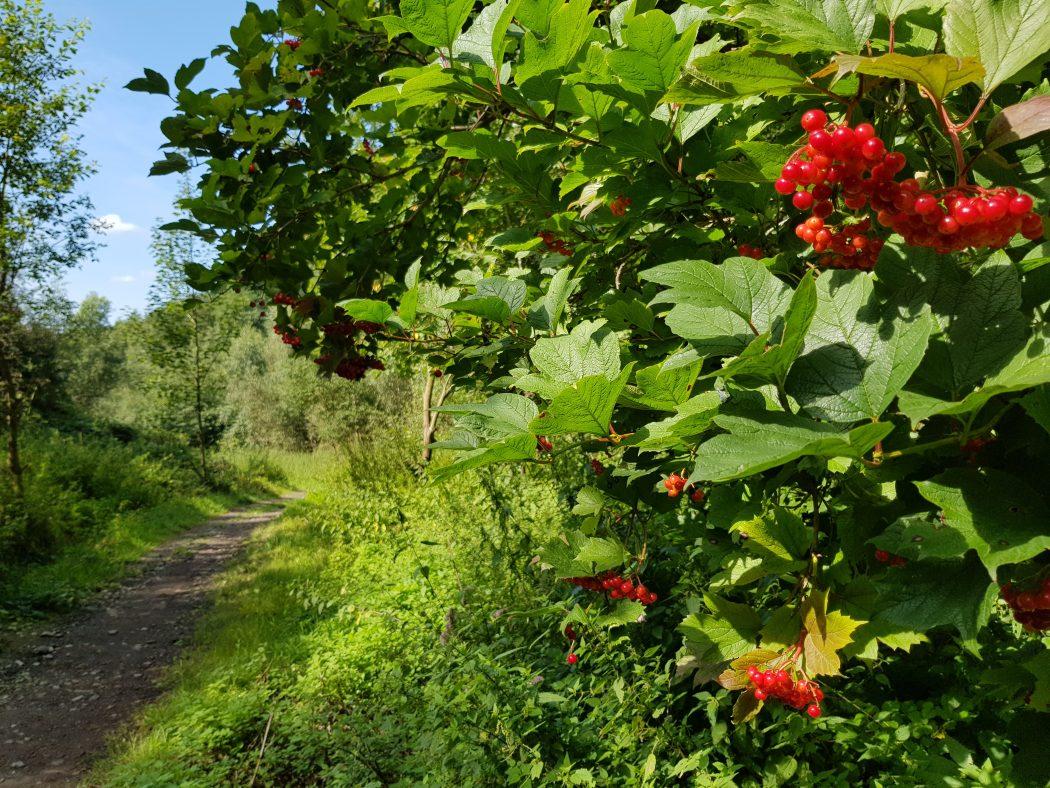 Das Foto zeigt Beeren am Wegesrand des Kettwiger Panoramasteigs