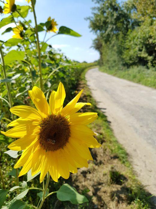 Das Foto zeigt Sonnenblumen auf dem Kettwiger Panoramasteig