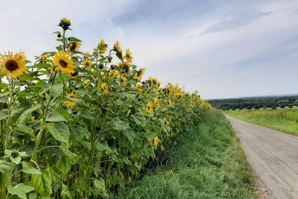 Das Foto zeigt ein Sonnenblumenfeld