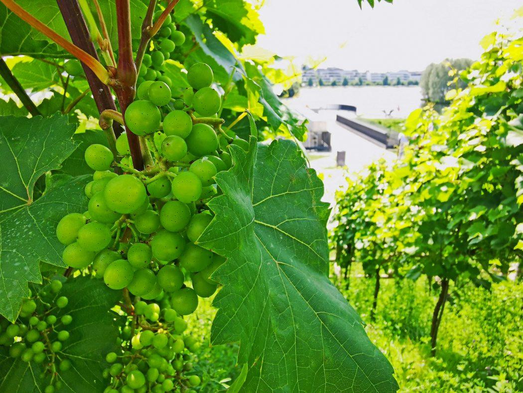 Das Foto zeigt Weinreben am Phoenix See in Dortmund