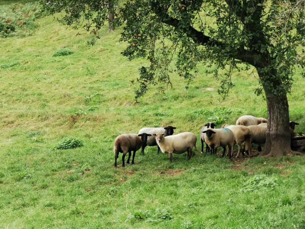 Das Foto zeigt Schafe bei der Wanderung von Hattingen nach Sprockhövel