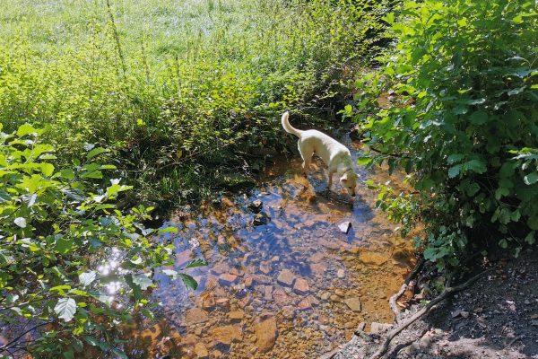 Das Foto zeigt Hund Theo im Paasbach in Sprockhövel
